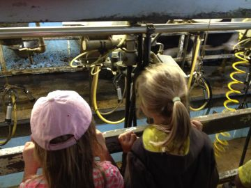 Watching milking